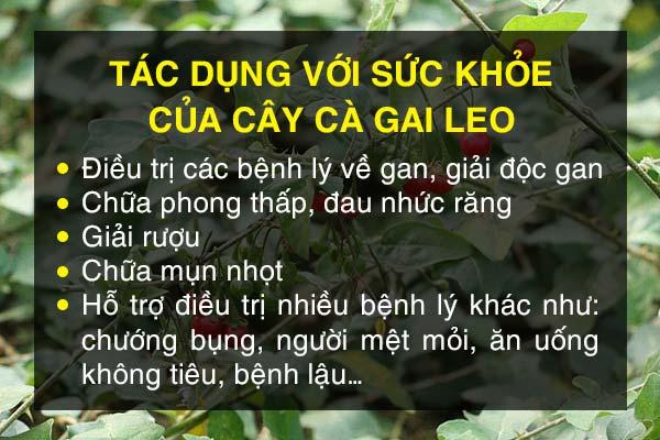 cong-dung-cua-cay-ca-gai-leo-2