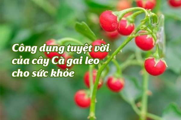 cong-dung-cua-cay-ca-gai-leo-1